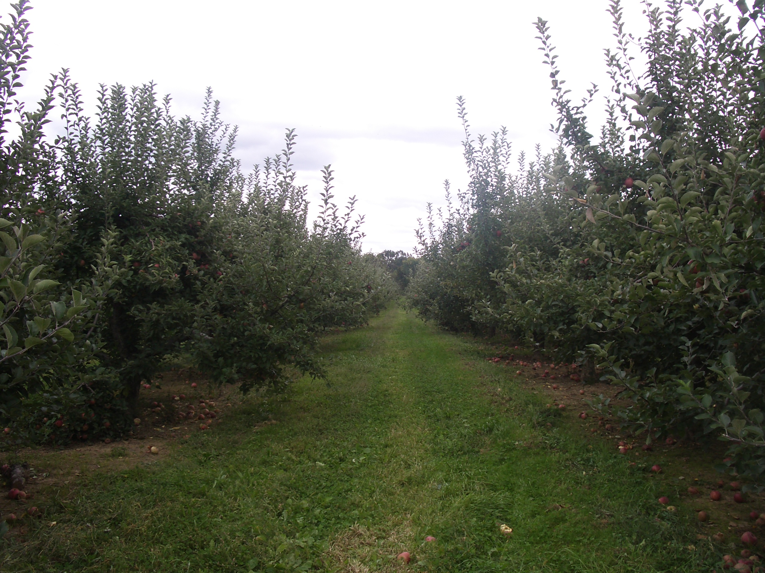 apple tree rows