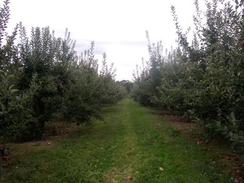 apple tree rows